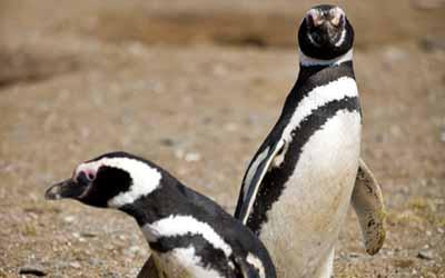 Бальестас пингвины Гумбольта