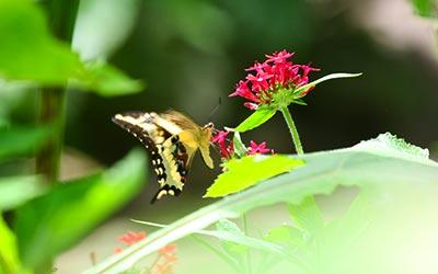 Бабочка в Пукальпе