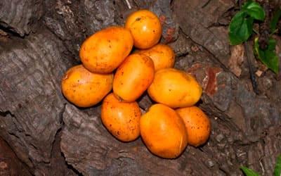 Плоды Убос
