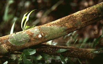 clavo huasca в Перу